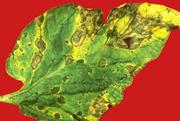 tomato leaf blight