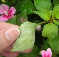 Downy Mildew on impatiens