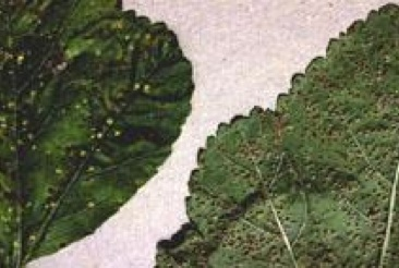 Rust pustules on Hollyhock