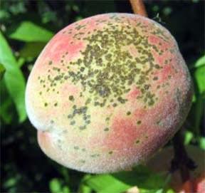 Peach Scab
