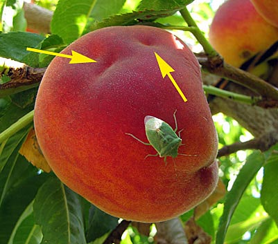 Stinkbug on peach