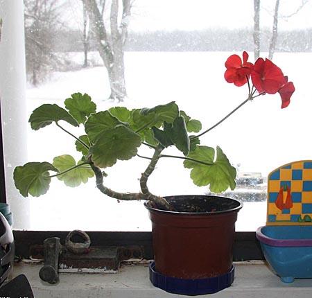Geranium cutting indoors for winter