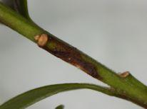 Boxwood stems