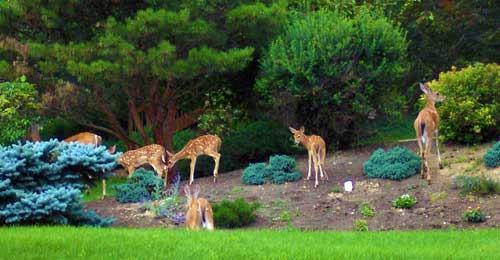 deer in lawn
