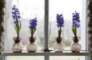 hyacinth in glass