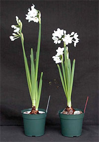 paperwhites in alcohol