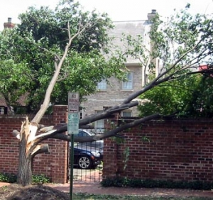 Bradford Pear downed
