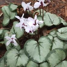 Cyclamen Silver Leaf
