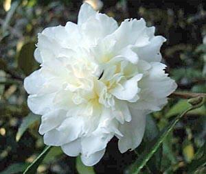 Camellia x sasanqua