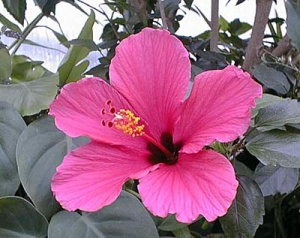 Hibiscus Fairfax Gardening
