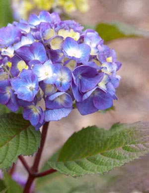 bloomstruck hydrabgea