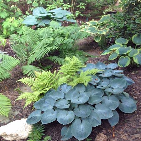 Leafy Wonder Of Hostas Fairfax Gardening