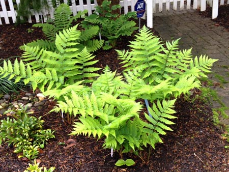 Goldies Fern