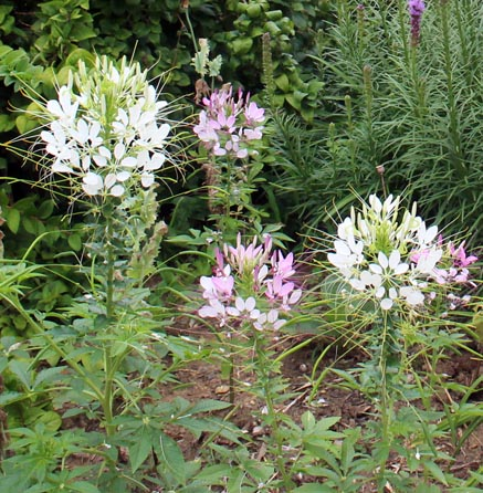 Cleome is a prolific self-seeding annual