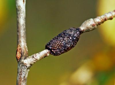 Tent caterpillar eggs