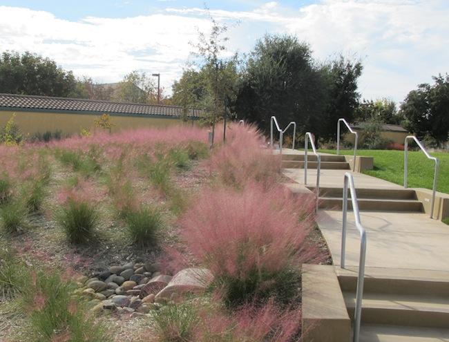pink muhlenbergia