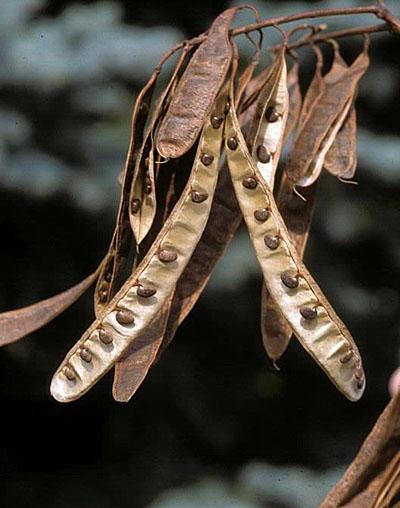 Locust Pods