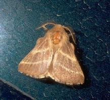 adult moth