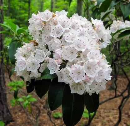 Mountain Laurel Fairfax Gardening