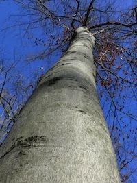bark of beech