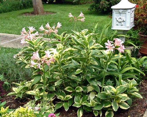 lycoris in hydrangea