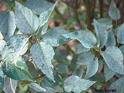 mildew on lilac