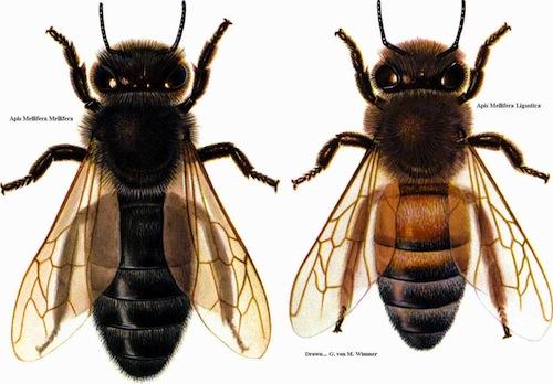 German black bees & italian bees
