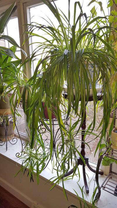 Spider plant in window