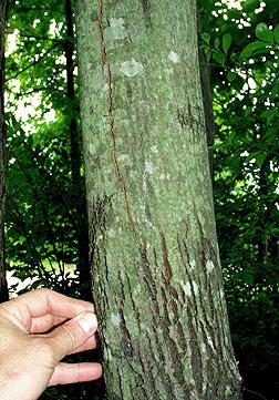 serviceberry bark