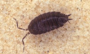 sow bug