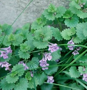ground ivy in flower