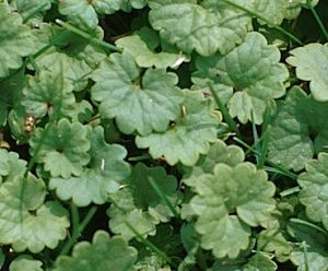 ground ivy leaf
