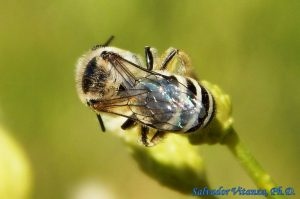 Colletidae-Colletes Cellophane bee