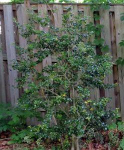Holly in shade