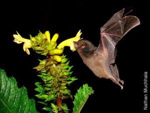 bat as pollinator