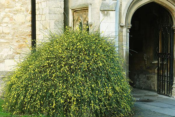 Winter Jasmine as shrub