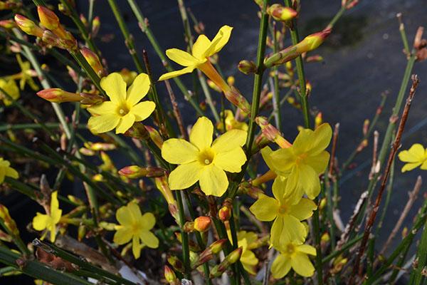 winter jasmine flower