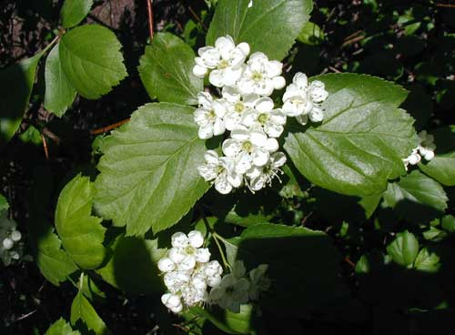 hawthorn flower and leaves