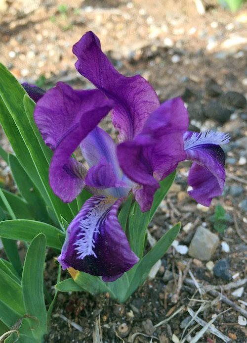 Atroviolacea iris