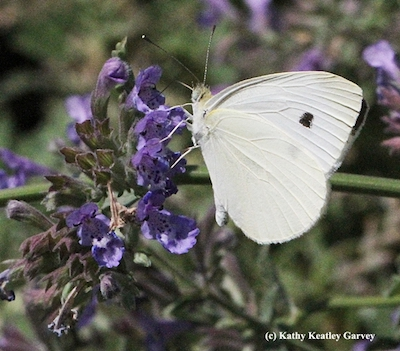 whiget cabbage butterfly