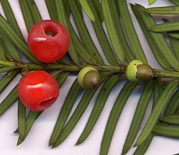 yew needles & berry
