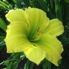 Green Flutter daylily