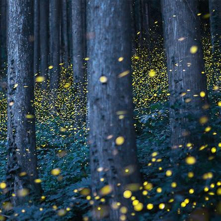 fireflies in forest