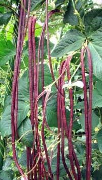 red yard long beans