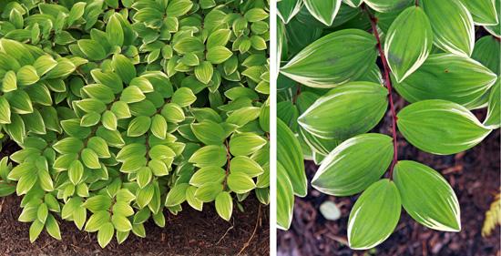Polygonatum-variegated