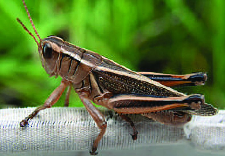 Two-0striped grasshopper
