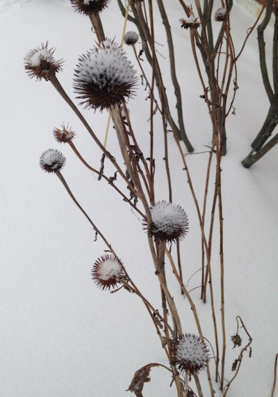 seed head in snow