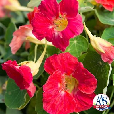 Tip Top Rose Nasturtium