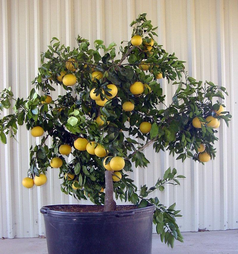 Lemon Citrus in container