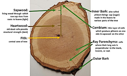 Tree structure cross section
